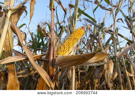 agricultural field, which grows ripe yellow corn. Photo close-up in autumn season