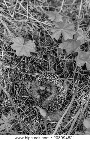 Hedgehog sitting in the grass in the forest black and white poster
