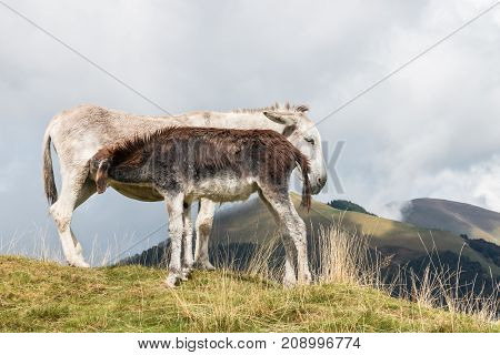 close up of donkey jenny with suckling foal on alpine meadow