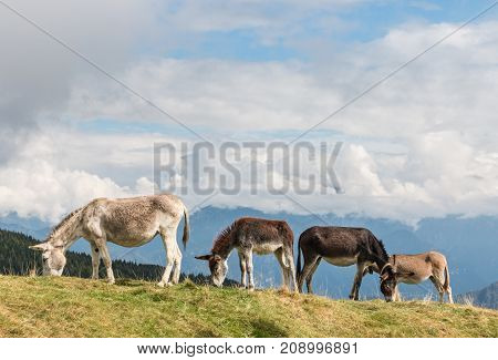 herd of donkeys grazing on alpine meadow with sky and copy space