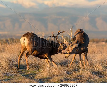Mule Deer Bucks Fighting For Their Mate in Colorado's High Prairie