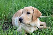 Stock photo of Golden labrador in grass poster