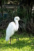 Ornithology and freedom concept. Heron or great egret walking on green grass in Key West USA. Bird with white feathers and yellow beak on natural background. Wildlife and nature. poster