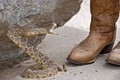 Rattle snake attacking a leather boots by rock. poster