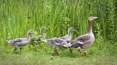 Mother goose leading goslings in the wild poster