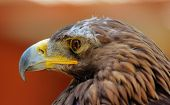 Portrait of young golden eagle with reddish background poster