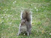 A Lovely Grey Squirrel on Alert on Grass poster