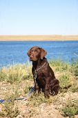 Female purebred Lab puppy on leash beside lake. Three months old. poster