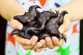 """Two Hands Holding Water Caltrop, Chinese call it """"Ling Jiao"""". Close-up. poster"""
