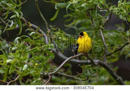 An American Goldfinch Perched On A Branch