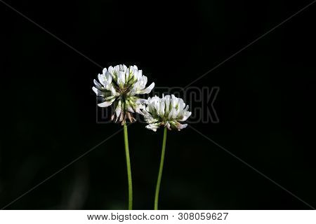 Wild Flower Macro Background Fine Art In High Quality Products Fifty Megapixels Trifolium Leguminosa