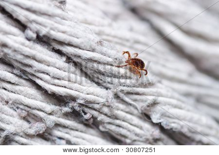 Ixodes scapularis or tick on white background poster