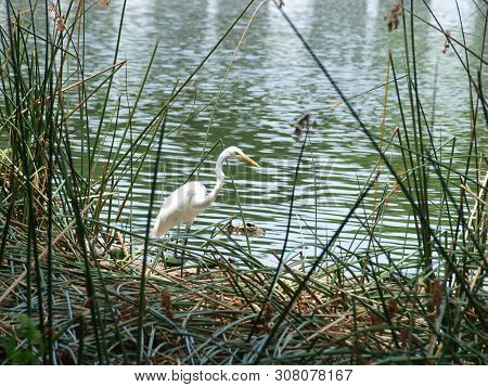 A Great White Egret Fishes In White Rock Lake Standing On A Reed Bed With Several Pet Store Green Tu