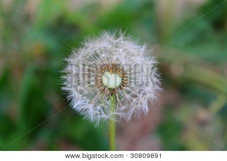 leaving home: dandelion