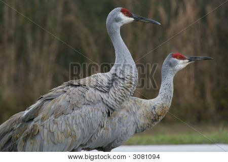 Pair Of Sandhill Cranes