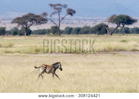 Young zebra foal runs through the long grass of Amboseli National Park, Kenya.