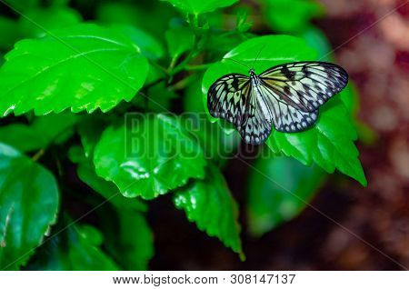 Scientific Name Is Idea Leuconoe Erichson. Rice Paper Butterfly Sitting On A Flower. Butterfly And P