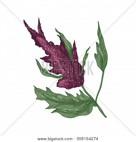 Realistic Natural Drawing Of Quinoa Or Amaranth Plant With Blooming Plant Or Inflorescence. Edible G