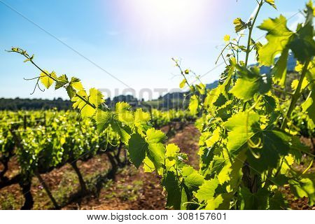 Close Up Of Early Morning Sunbeam Illuminating Green Grapevine Leaves. Out Of Focus Vineyard And Blu