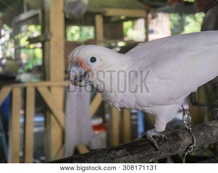 Parrots,white Parrots In Farm. White Macaw Parrot In Nature, Parrot That Is A Pet.