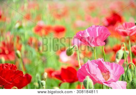 The Pink Poppy Flower In Garden Field