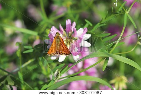 Small Orange Colored Skipper Butterfly Sitting On A Pink Crown Vetch Blossom
