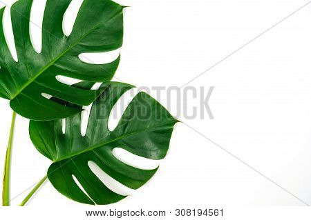 Two Monstera Green Leaves Isolated On White Background In Flat And Top View.