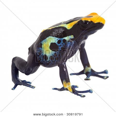 poison dart frog isolated dendrobates tinctorius poisonous animal of amazon rainforest kept as pet in terrarium