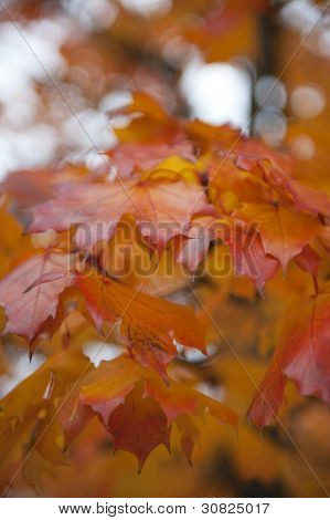 Red ash leaves