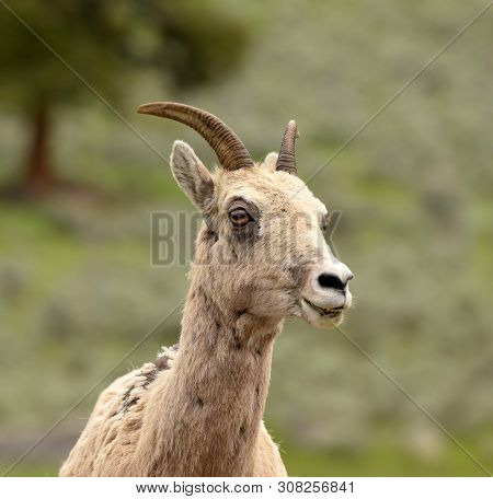 Ovis Canadensis-bighorn Sheep Female In Natural Environment In Wyoming, Usa