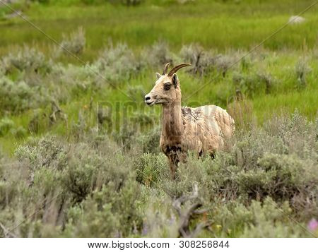 Bighorn Sheep Female Seen In Wyoming Usa (ovis Canadensis,)