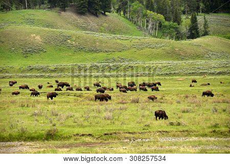 Herd Of Buffalo In The Wild In Wyoming, Usa