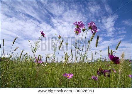 Meadow with wonderful violet flowers