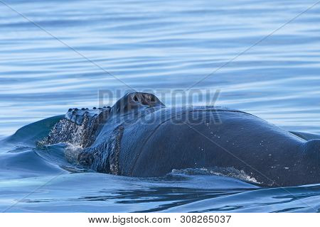 Close Up View Of A Humpback Whale Head And Blowhole Near Husavik, Iceland
