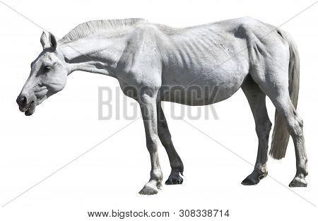 An Old White Horse Grazes. Isolated Horse. Bony Nag.