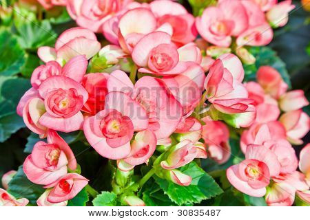 The Pink Flowers