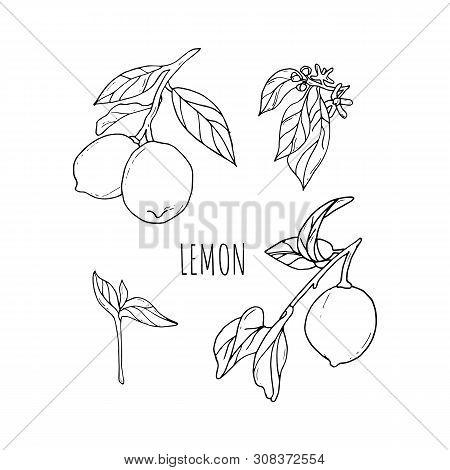 Lemon Vector Drawing. Lemon Fruit Artistic Illustration.