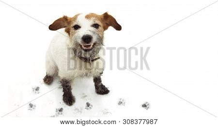 Isolated Dirty Jack Russell Dog, After Play In A Mud Puddle With Pawprints  Against  White Backgroun