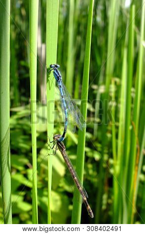 Common Blue Damsel Fly Mating On Grass Reeds At The Waters Edge Of Weston Turville Reservoir In Buck