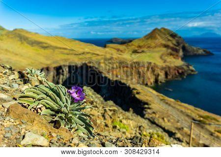 Flower On Rocky Coast In Madeira Atlantic Coastline