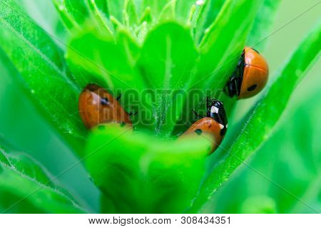 3 Ladybugs Hiding In The Top Of A Plant, Macro Photo, Close Up, Insect, Coccinellidae, Arthropoda, C