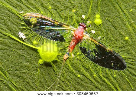 poster of Cyanobacteria, also known as Cyanophyta on water surface.  Can produce neurotoxins a other toxins.   Algal blooms, which can become a danger to humans and animals. Dead Mayfly in swamp.