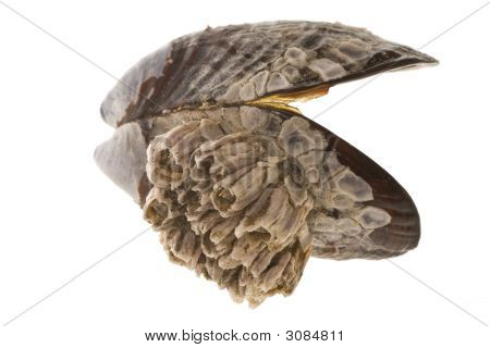 Barnacled Mussel Shell