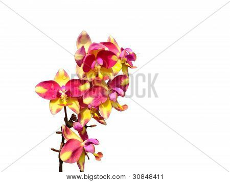 Wild Orchid Or Ground Orchid