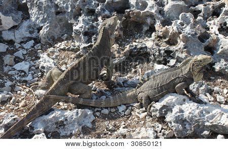a large lizard, iguana island, Cuba, Caribbean poster