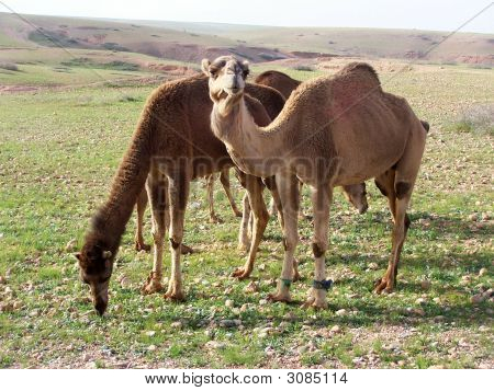 Wild Camels In Morocco