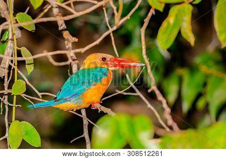 Stork-billed Kingfisher With Bright Orange Bill Or Beak On Branch On Side Of Kinabatangan River, Sab