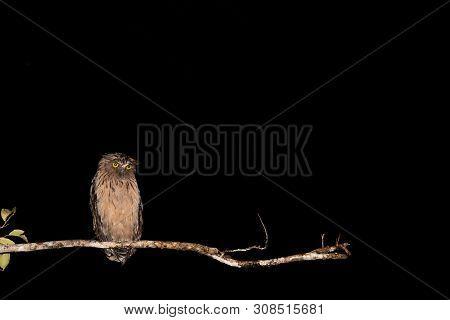 Owl Caught In Night Light On Branch