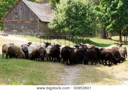 Sheeps On A Country Road