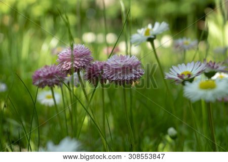 Pretty Dainty Pink Wildflowers Growing In A Meadow In Spring Amongst Fresh White Daisies In Lush Gre